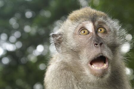 simian: Long tailed macaque frightened
