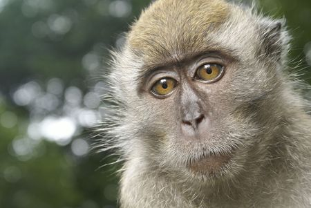 Long tailed macaque sad portrait photo