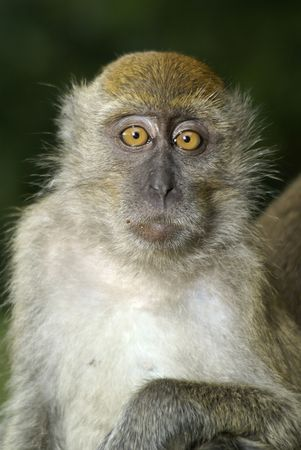 bewildered: Bewildered macaque monkey expression