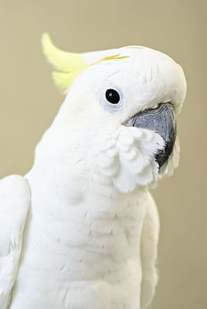 White Sulphur Crested Cockatoo or cacatua galerita photo