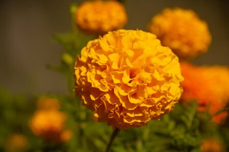 YELLOW FRENCH MARIGOLD TAGETES PATULA MISTER MAJESTIC FLOWER IN AN INDIAN ASSAM LOCAL GARDEN 7