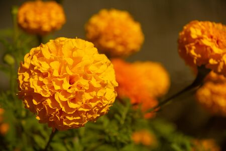 YELLOW FRENCH MARIGOLD TAGETES PATULA MISTER MAJESTIC FLOWER IN AN INDIAN ASSAM LOCAL GARDEN 8