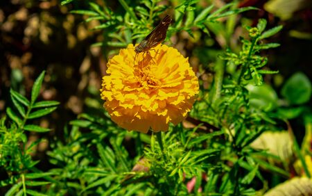 YELLOW FRENCH MARIGOLD TAGETES PATULA MISTER MAJESTIC FLOWER WITH A BLACK BEAUTIFUL BUTTERFLY ON IT IN AN INDIAN ASSAM LOCAL GARDEN 写真素材 - 143429927