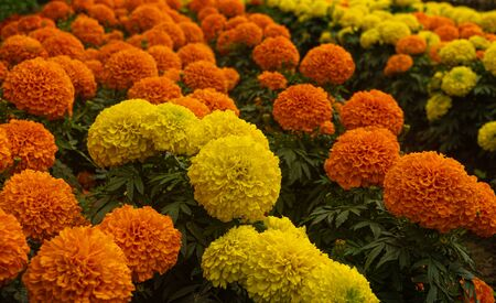 YELLOW ORANGE FRENCH MARIGOLD TAGETES PATULA MISTER MAJESTIC FLOWER IN AN INDIAN ASSAM LOCAL GARDEN 1