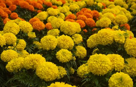 YELLOW ORANGE FRENCH MARIGOLD TAGETES PATULA MISTER MAJESTIC FLOWER IN AN INDIAN ASSAM LOCAL GARDEN 2
