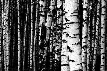 white birch symbol of russian nature       photo