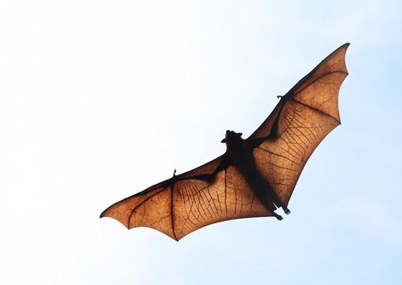 Flying fox in the sky of Sri Lanka photo