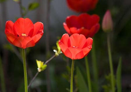 A garden bed of tulips in sring time Reklamní fotografie