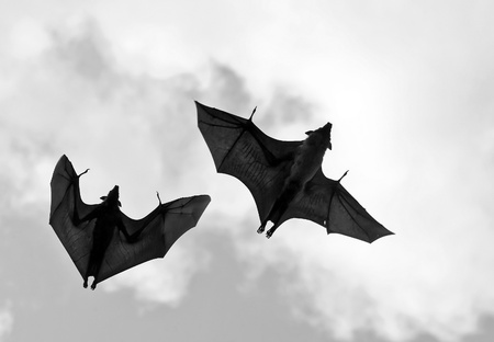 echolocation: Flying fox  (fighters) in the sky of Sri Lanka