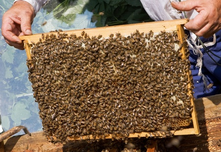 a frame with honeycombs (honey collecting process)