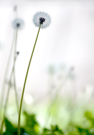 An isolated white dandelion formed into windborne seeds Stock Photo