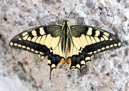 papilionidae: Papilio machaon butterfly