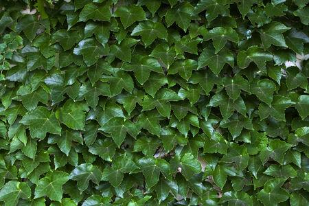 wall ivy: Ivy pared Foto de archivo