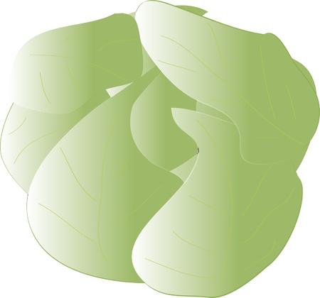 Fresh cabbage - vector Stock Vector - 10658883