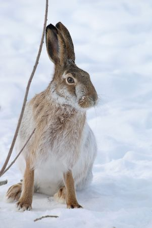 Brown hare with long ears on snow background