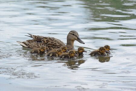 Little ducklings swimming with their mother  photo