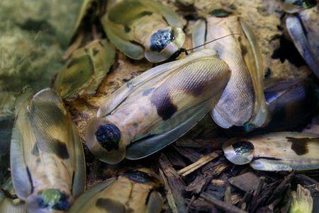 hissing: Un sacco di grandi sibilo scarafaggi