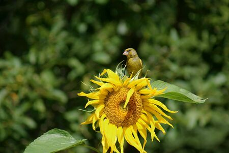 greenfinch: Greenfinch on sunflower