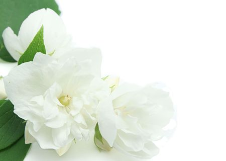 White jasmine flowers isolated on white background Stock Photo