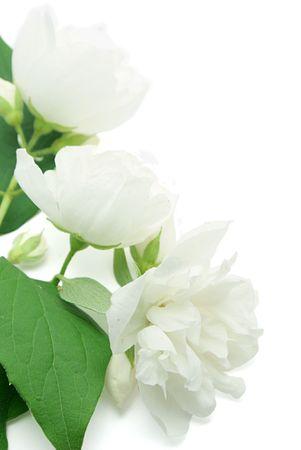 jessamine: Bianchi fiori di gelsomini isolati su sfondo bianco