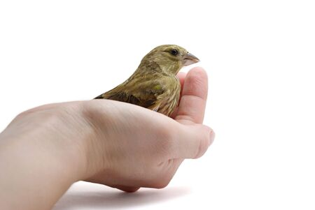 European Greenfinch (Chloris chloris) sits on palm photo
