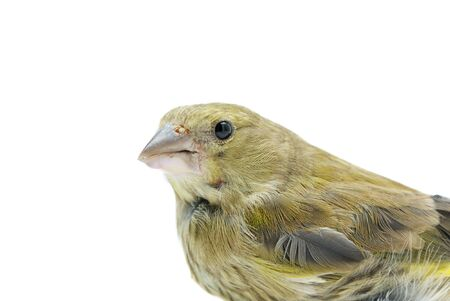 greenfinch: Portrait of European Greenfinch (Chloris chloris) isolated on white background