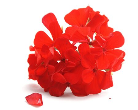 Red geranium flowers isolated on white background