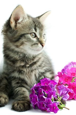 Portrait of little kitten with flowers on white background Stock Photo