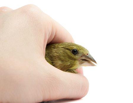 greenfinch: European Greenfinch (Chloris chloris) in arm