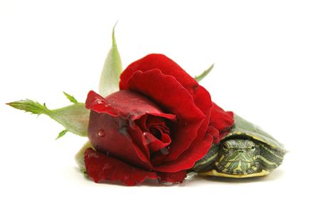 Little turtle and red rose on white background photo