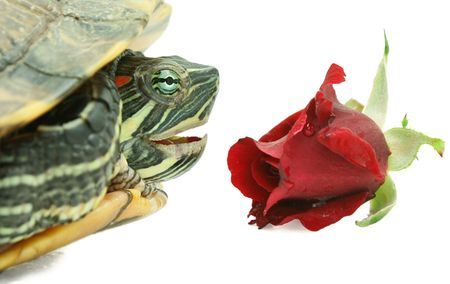 Big turtle and red rose on white background photo