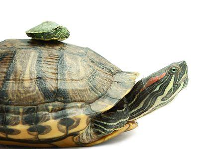 tortuga: Peque�a y gran tortuga sobre fondo blanco