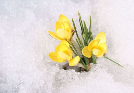Bouquet of yellow crocuses on snow background; first spring�s flowers photo