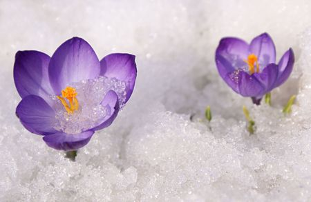 thawing: Violet crocuses flowers on snow white background