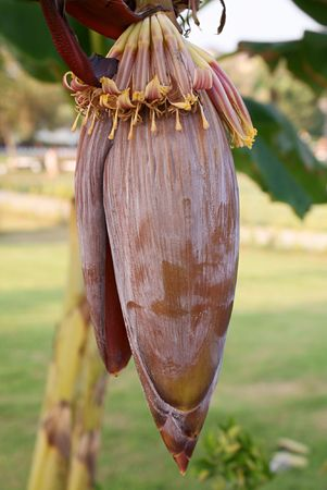 One red banana flower with outdoor background photo