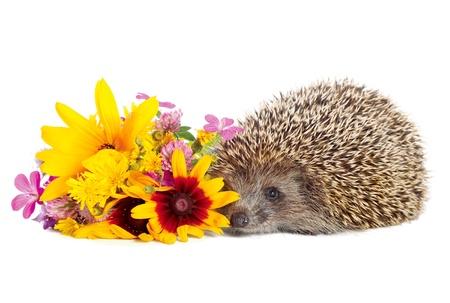 Hedgehog with flowers photo