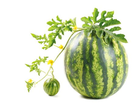 plant sweet: The watermelon
