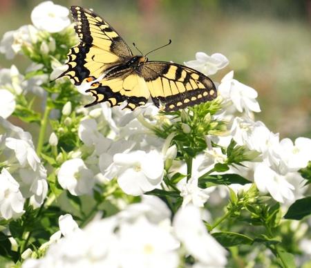 swallowtail: Swallowtail