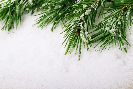 Green pine tree branch on snow background