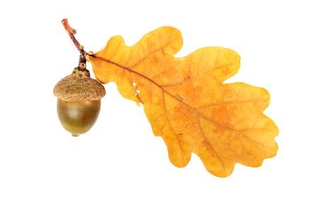 acorn tree: Oak branch