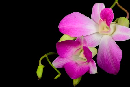 Branch of orchid flowers on a black background Stock Photo