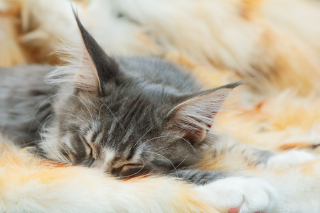 spotted fur: Kitten of Maine coon on spotted fur background