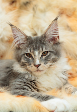 maine coon: Kitten of Maine coon on spotted fur background