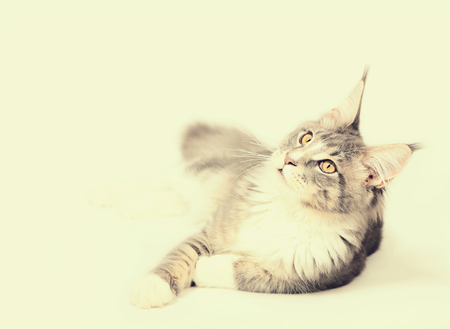 Portrait of kitten Maine coon looking up on light background Stock Photo