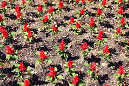 View of flowering scarlet sage from above. Stock Photo