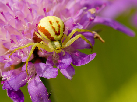 goldenrod spider: Goldenrod Crab spider sitting on a flower - Misumena vatia Stock Photo