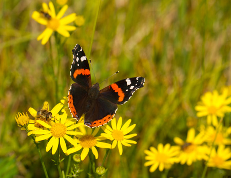 vanessa: Red Admiral Butterfly (Vanessa atalanta) on a meadow