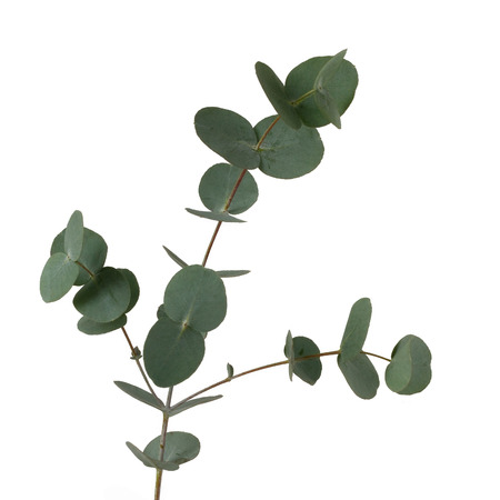 Eucalyptus leaves isolated on white background (Eucalyptus globulus)
