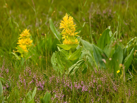 Great yellow gentian (Gentiana lutea) Stock Photo