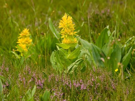 Great yellow gentian (Gentiana lutea) photo